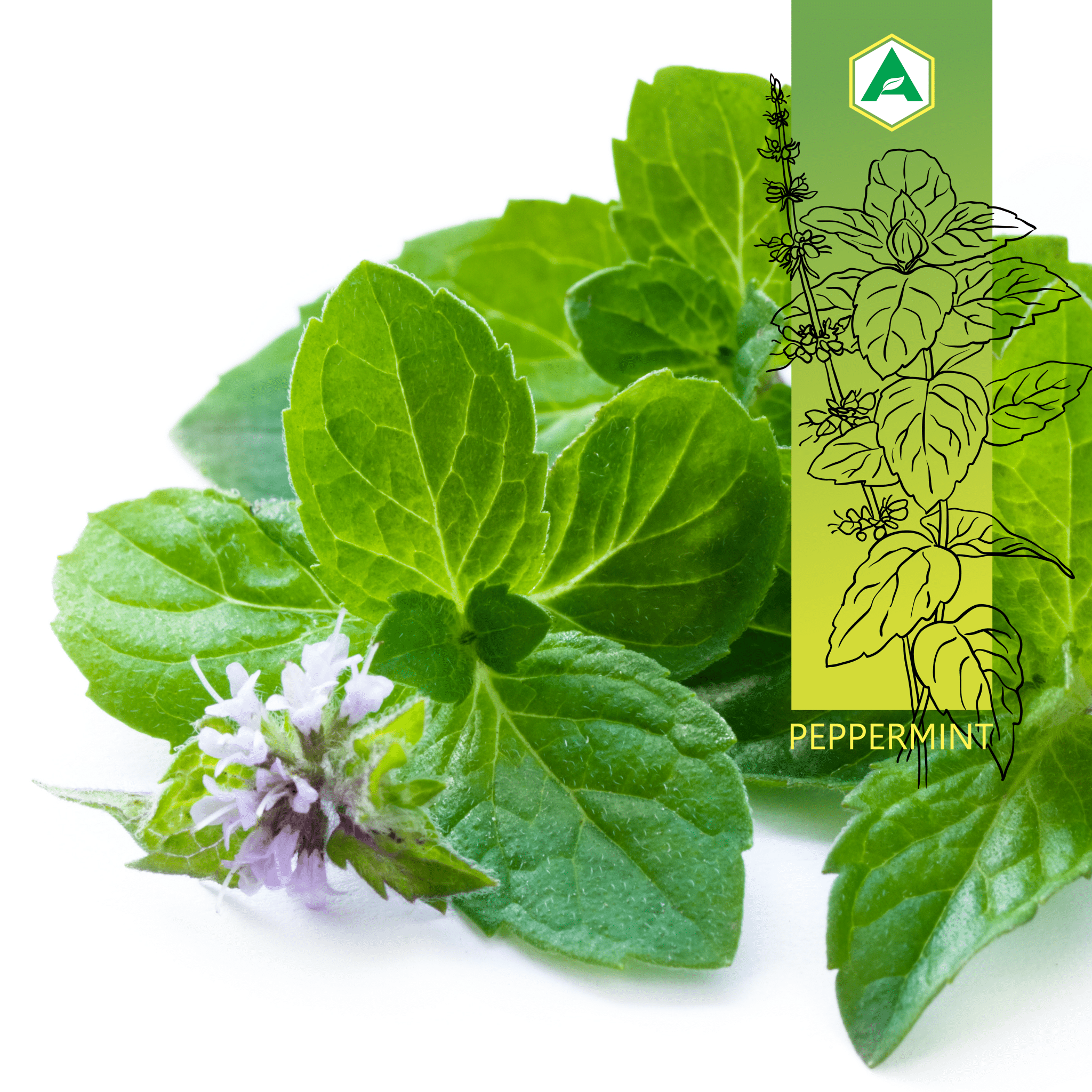 Peppermint Leaf: What is it and what health benefits does it offer?